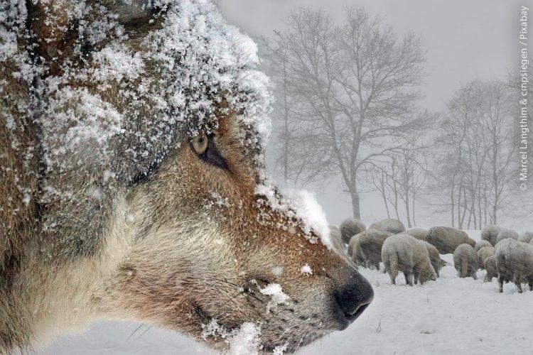 Wölfe: Der Wolf ist vor rund 20 Jahren in das deutsche Bundesgebiet zurückgekehrt und hat sich – dank des Naturschutzes – seither viele Reviere zurückerobert.