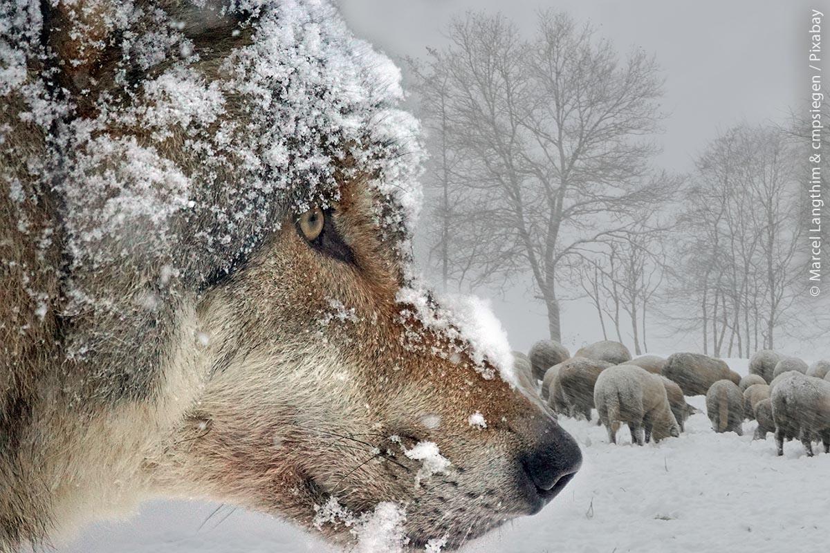 Aufm wolf mit schafen winter mlangthim u cmpsiegen pixabay web