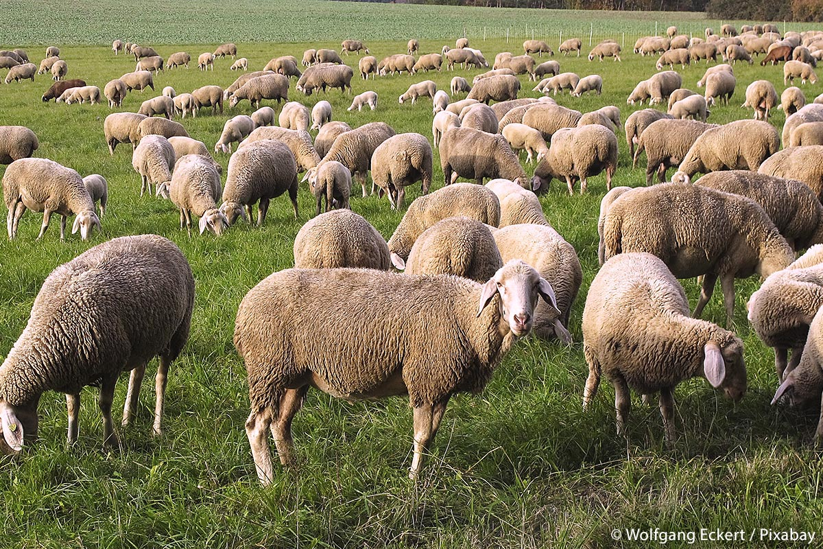 Da Nutztiere wie Schafe bis in den letzten Jahren – abgesehen vom Menschen – praktisch keine natürlichen Feinde auf dem deutschen Bundesgebiet hatten, gab es auch nur wenige Verluste zu beklagen. Mit der zunehmenden Zahl der Wölfe ändern sich allerdings jetzt die Verhältnisse.