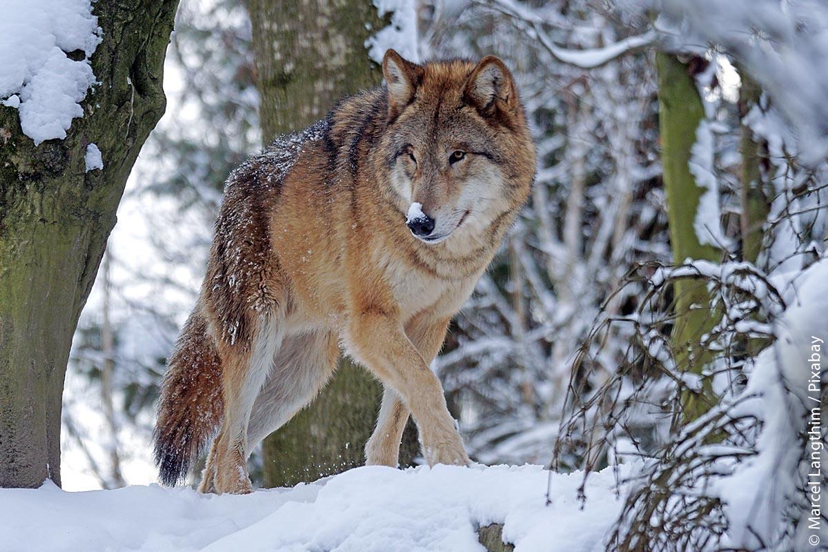 Der Winter ist auch für Wölfe keine leichte Zeit.