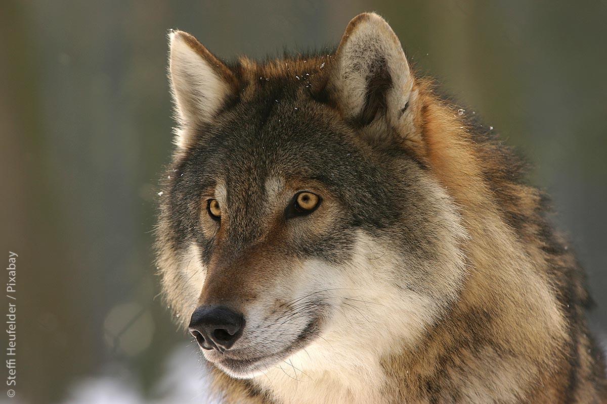 Unbestreitbar: Der Wolf ist ein wunderschönes, schützenswertes Tier, das einen Platz in der Natur behalten sollte.