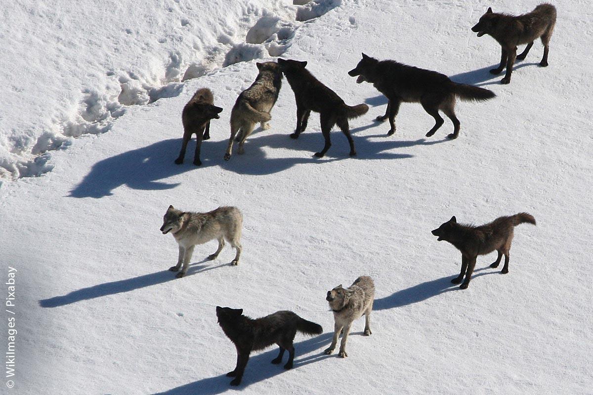 In Deutschland leben derzeit über 60 Wolfsrudel, 13 Paare und drei sesshafte Einzeltiere. Insgesamt seien es schätzungsweise über 1000 Tiere auf dem deutschen Bundesgebiet.