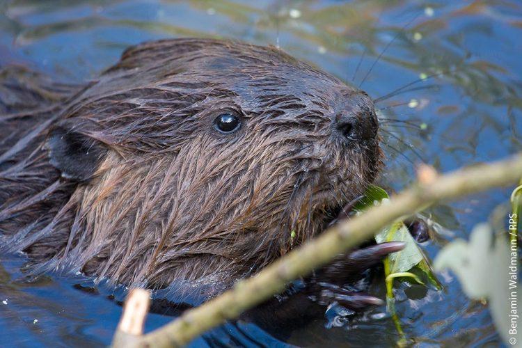 Schaut nur sein Kopf aus dem Wasser, ist der Biber durchaus auch mit dem etwas kleineren Sumpfbiber (Nutria) oder mit der noch kleineren Bisamratte zu verwechseln, auch wenn letztere deutlich kleiner ist.