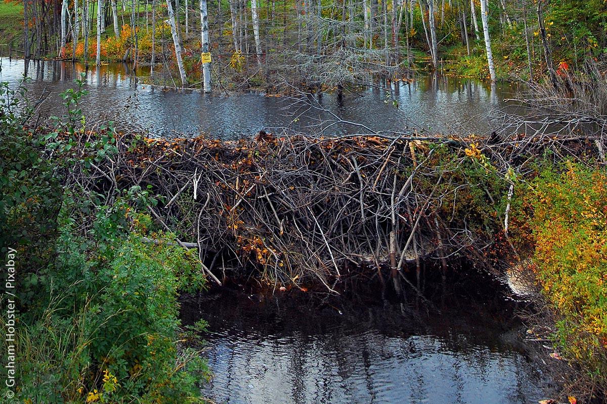 Eine imposante Biberburg kann das Wasser in einem Bach stauen und damit seine Fließgeschwindigkeit und sogar das naheliegende Landschaftsbild ändern. An gestauten Bächen nimmt die Artenvielfalt spürbar zu.