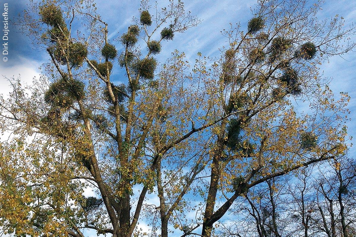 Der zunehmende Befall von Misteln (dichte, dunkelgrüne, kugelförmige Auswüchse) wird für immer mehr Bäume zum existenziellen Problem.