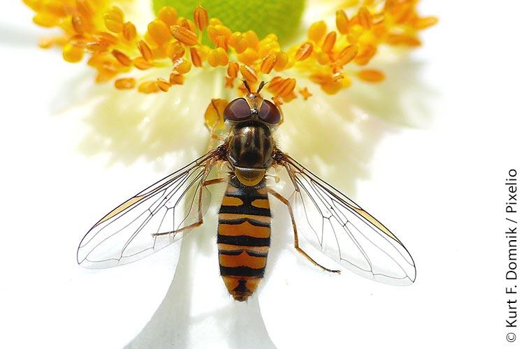 Schwebfliegen (im Bild eine Hainschwebfliege) gehören neben den Wild- und Honigbienen zu den fleißigsten Blütenbestäubern unserer Nutzpflanzen.