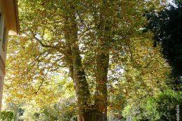 In den Hohenheimer Gärten stehen einige monumentale und sehr alte Bäume, wie diese im Jahre 1779 gepflanzte, bald 40 Meter hohe Ahornblättrige Platane.