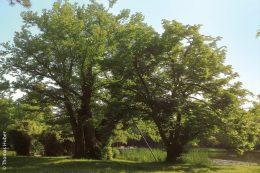 Im Schlosspark Karlsruhe gibt es einige sehr alte und imposante Bäume.