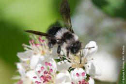 Die Graue Sandbiene auf einer Aronia-Blüte