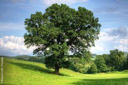 Ausgewachsene Bäume haben viele Vorteile: Sie produzieren sehr viel vom lebensnotwendigen Sauerstoff, bauen gleichzeitig Kohlendioxid ab, filtern Schadstoffe, speichern Wasser, regulieren den Grundwasserspiegel und die Luftfeuchtigkeit. Kurzum, sie wirken sich positiv auf das gesamte Klimageschehen aus. Ein Grund mehr, alte, große Bäume nicht zu fällen, sondern ihnen einen anderen Platz bereitzustellen.