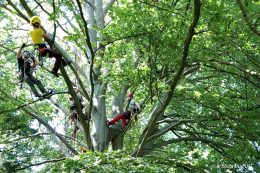 Grundlagen im Baumklettern und Rettung, man sieht mehrere Personen in einem Baum die klettern mit Absicherungsseilen.