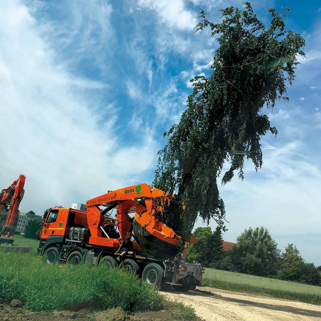 Mit speziellen Baumtransportfahrzeugen wurden elf Bäume einer ehemaligen Baumschule neun Kilometer weit nach Günzburg transportiert.