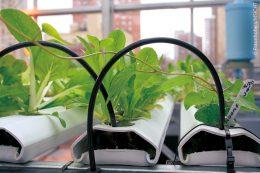 Pflanzen gedeihen gut in mit Nährstoffen angereichertem Wasser: Beim hydroponischen Salatanbau in Nutrient Film Technique (NFT) werden die Wurzeln in wasserdichten Kanälen von einem flachen Wasserstrom mit wichtigen gelösten Nährstoffen umspült.