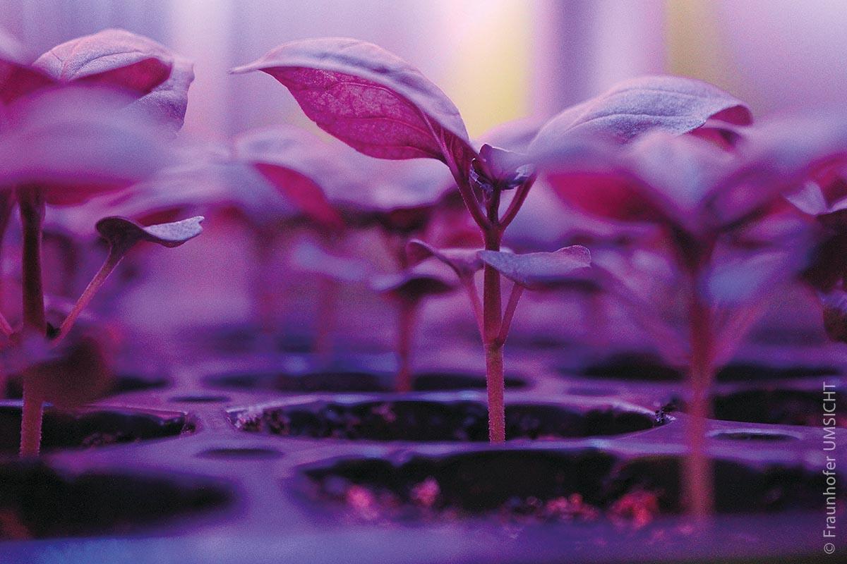 Kontrollierter Anbau von Basilikum mit spezieller Pflanzenbelichtung