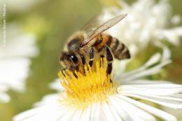 Auch wenn Honigbienen weniger in Gefahr sind, sondern vor allem Wildbienenarten und auch andere Insekten: Sehr viele von ihnen sind für die Bestäubung von Obst- und Gemüsepflanzen unerlässlich.