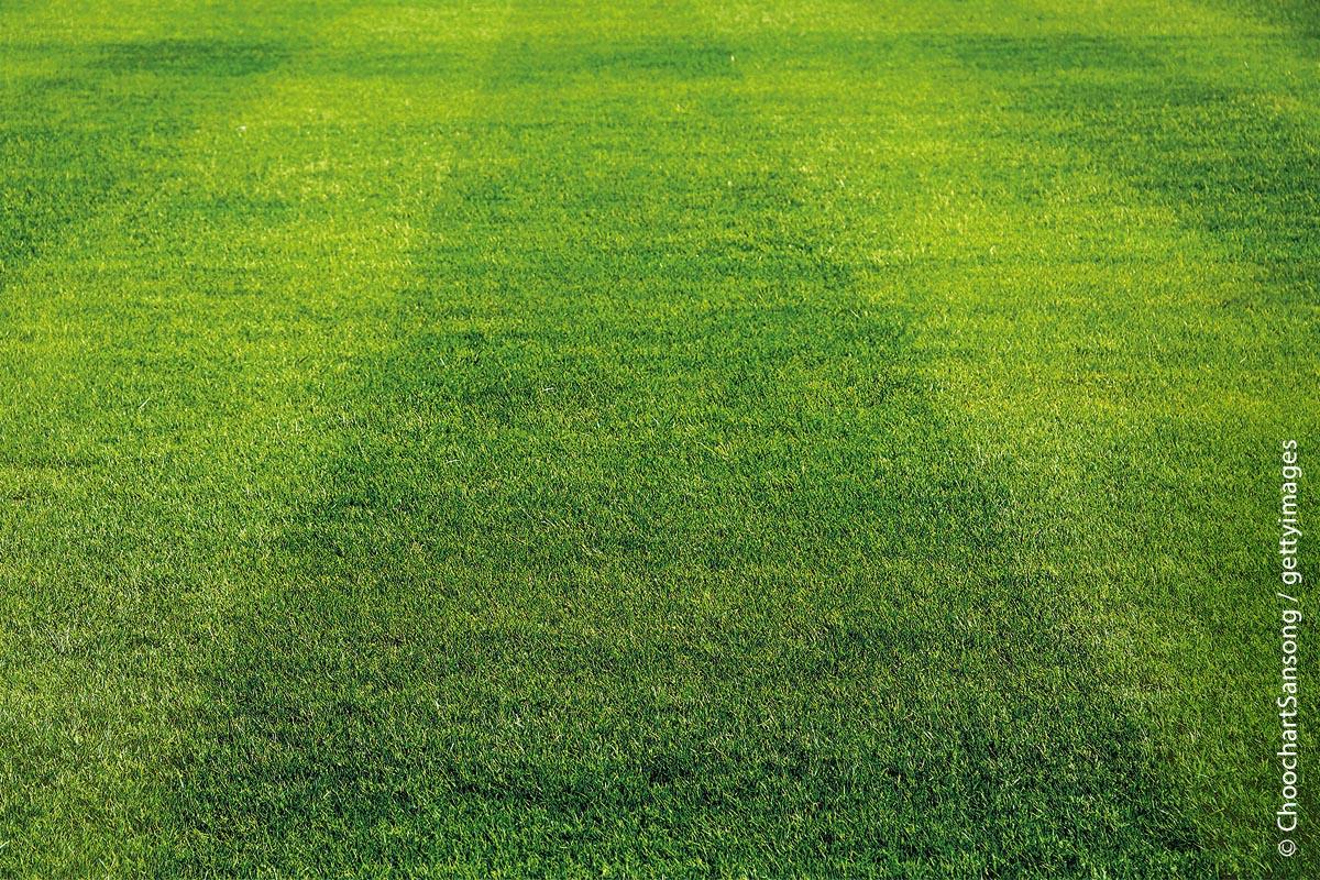 Der Basisrasen von Sir Graham besteht ausschließlich aus Rasengräsern und ist eine kostengünstige Variante, um einen sattgrünen und pflegeleichten Rasen zu erhalten. Die Neuansaat ist ebenfalls als Nachsaat geeignet.