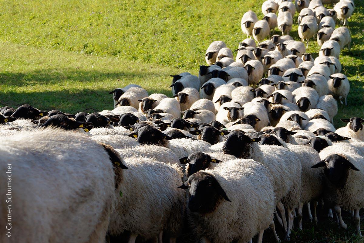 In Markt Oberelsbach legt man großen Wert auf Biodiversität. So konnte beispielsweise in Kooperation mit lokalen Akteuren das für die Region identitätsstiftende Rhön-Schaf vor dem Aussterben gerettet werden.