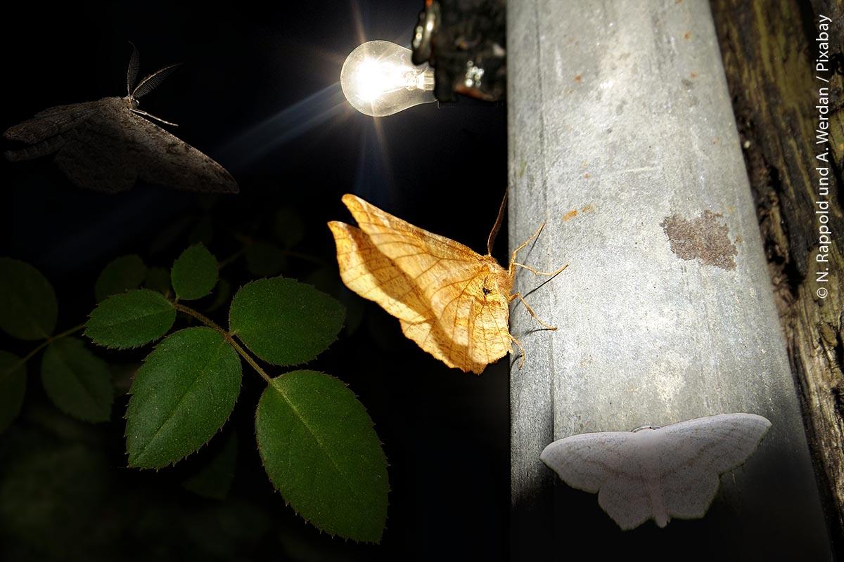 Nachtfalter und andere nachtaktive Fluginsekten werden wie magisch von Lichtquellen angezogen. Dabei sterben viele an Überhitzung, Dehydrierung, oder weil sie flinken Insektenjägern zum Opfer fallen.