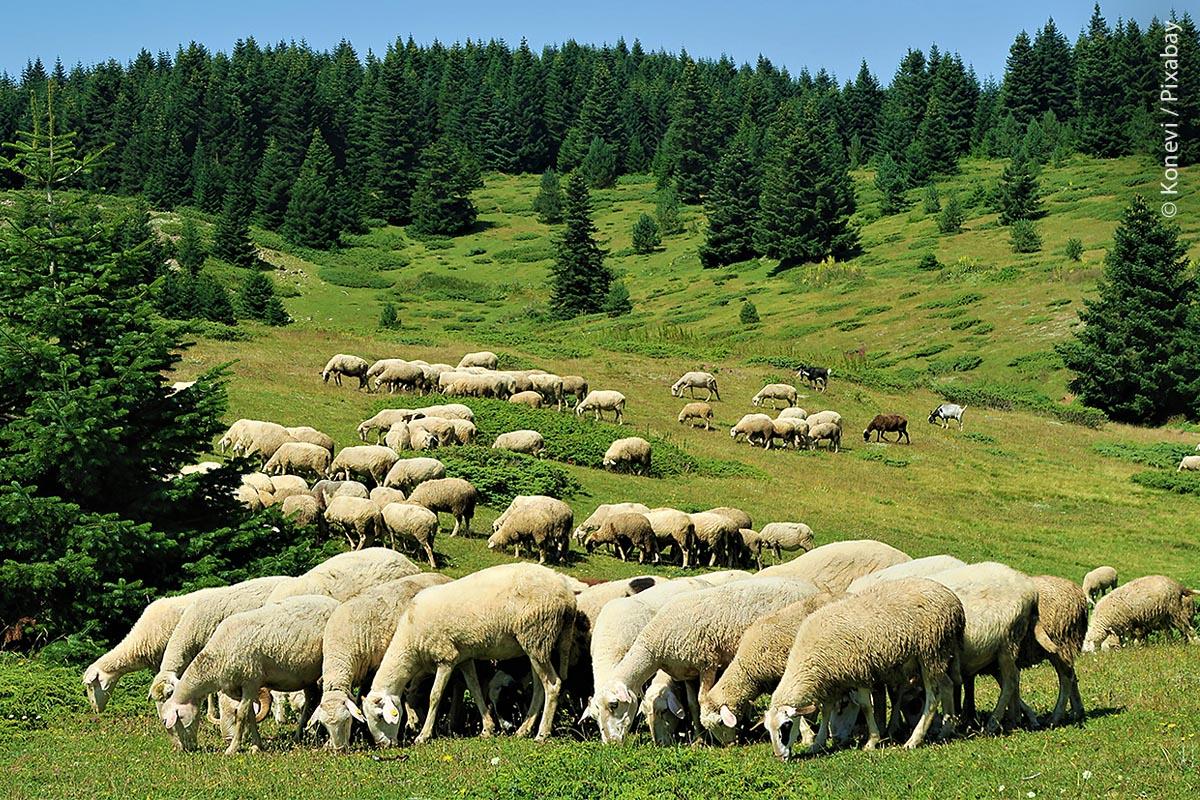Ohne Schafe keine Kulturlandschaften: Wo regelmäßig Schafe weiden, werden Wälder zurückgedrängt, bilden sich kaum Büsche. Wenn, dann sind es beispielsweise Wacholderheiden, so wie auf der Schwäbischen Alb. Diese zählen zu den artenreichsten Biotopen Mitteleuropas.