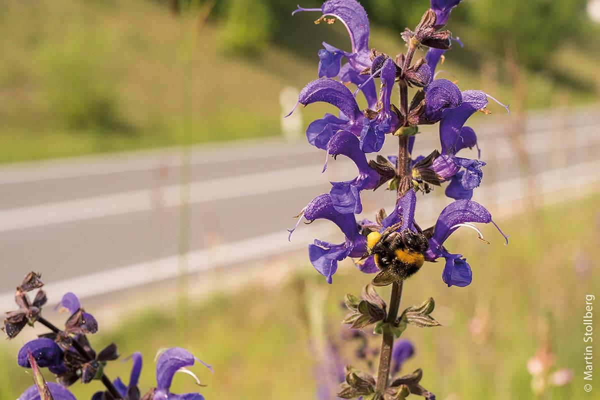 Eine Hummel – sie gehört zu den Wildbienen – am Wiesensalbei.